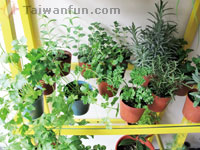 Growing beautiful, useful herbal plants at home